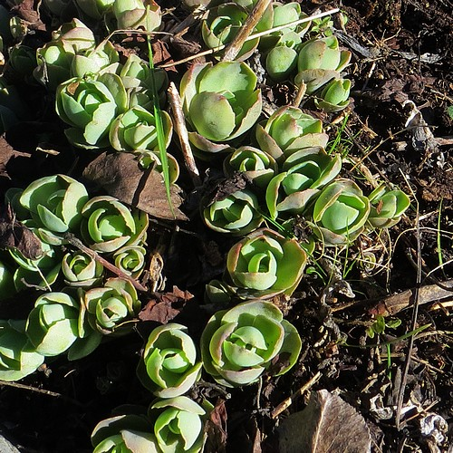 Les succulentes survivent facilement à un hiver rigoureux : elles repointent le bout de leur nez au mois de Mars.